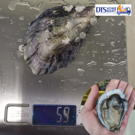 Live Ireland Oyster 50-70gm/pcs (with shell)