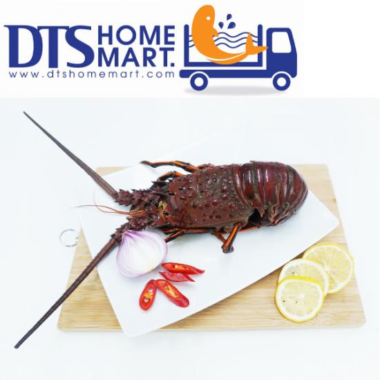 Live Australia Lobster 1kg-1.2kg 活澳洲龙虾