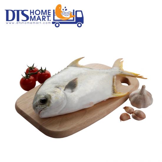 Silver Pompano Fish 600-800g 银昌鱼